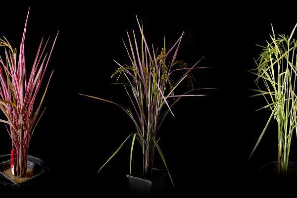 rainbow-rice-2020EEE19E7A-DB51-2A38-DB29-B3DE135C33FA.jpg